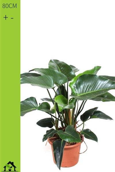 Baumfreund 'Imperial Green' (Philodendron scandens) 80cm