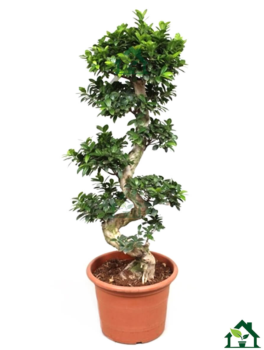 ficus ginseng ficus microcarpa bonsai 160cm. Black Bedroom Furniture Sets. Home Design Ideas