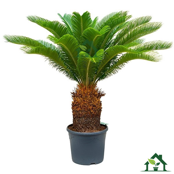 palmfarn auf stamm cycas revoluta 110cm zimmerpflanzen. Black Bedroom Furniture Sets. Home Design Ideas