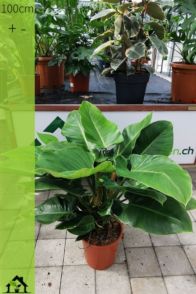 Einzelstueck - Philodendron Imperial Green 100cm