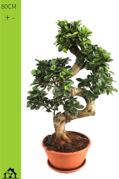 Chinesische Feige (Ficus microcarpa Ginseng) S -Form 80cm