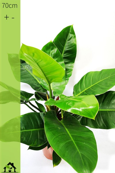 Einzelstueck - Philodendron Imperial Green 70cm