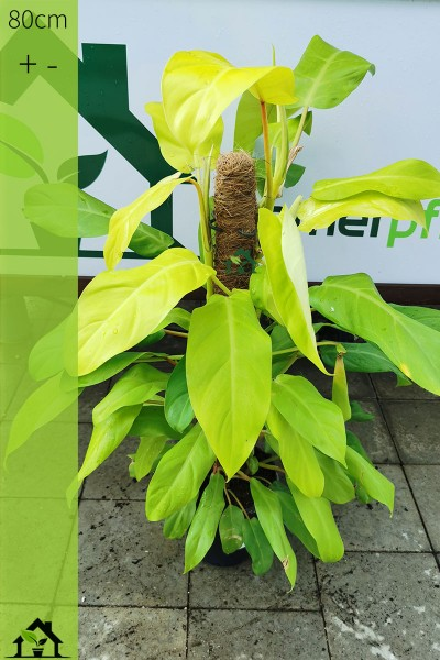 Einzelstueck - Philodendron Malay Gold 80cm