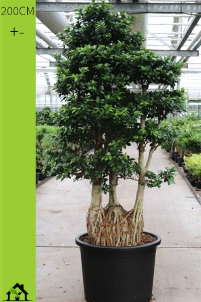 Chinesische Feige (Ficus microcarpa Ginseng) 200cm