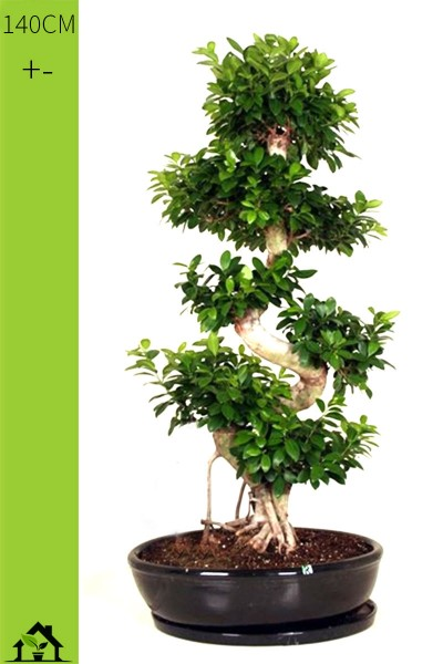 Chinesische Feige (Ficus microcarpa Ginseng) 140cm S-Form