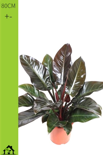 Baumfreund 'Imperial Red' (Philodendron scandens) Tuff