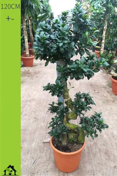 Chinesische Feige (Ficus microcarpa Ginseng) 120cm S-Form