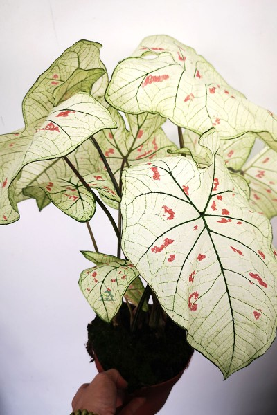 Caladium Buntwurz Strawberry Star