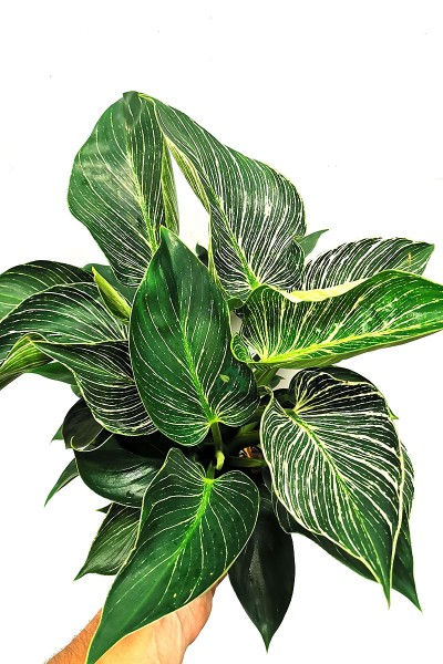 Philodendron White Wave 40cm
