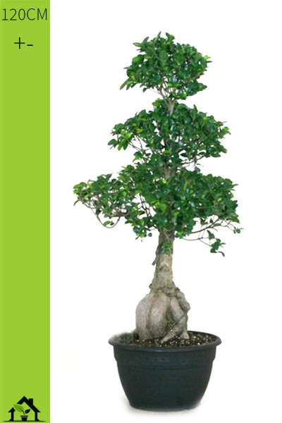 Chinesische Feige (Ficus microcarpa Ginseng) 120cm