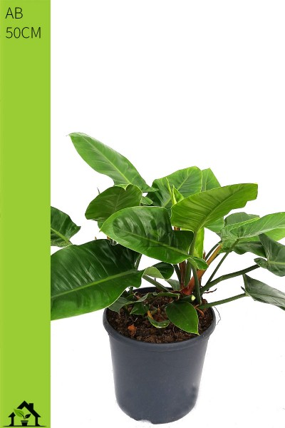 Philodendron Imperial Green 50cm