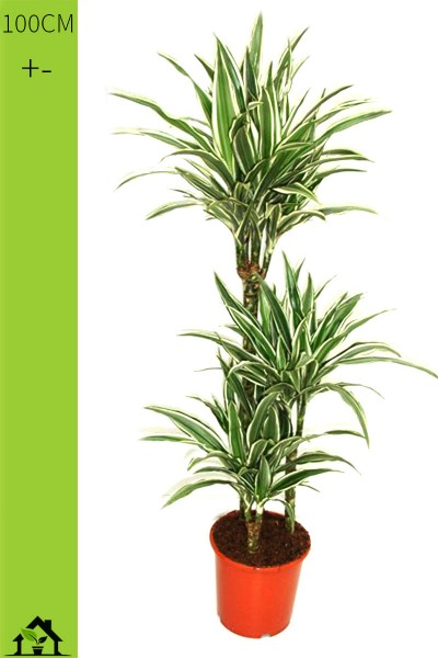 Drachenbaum (Dracaena fragrans White Stripes) 100cm
