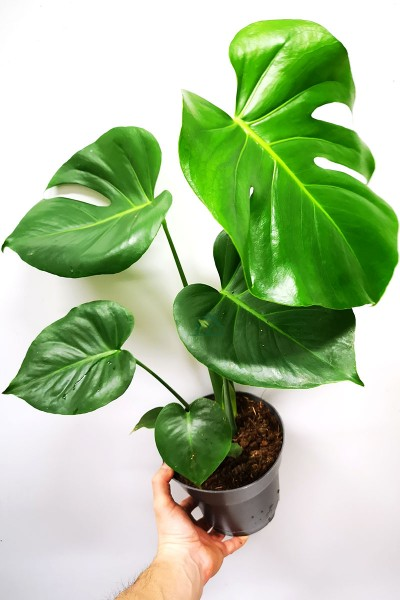 Monstera deliciosa Jungpflanze 60cm