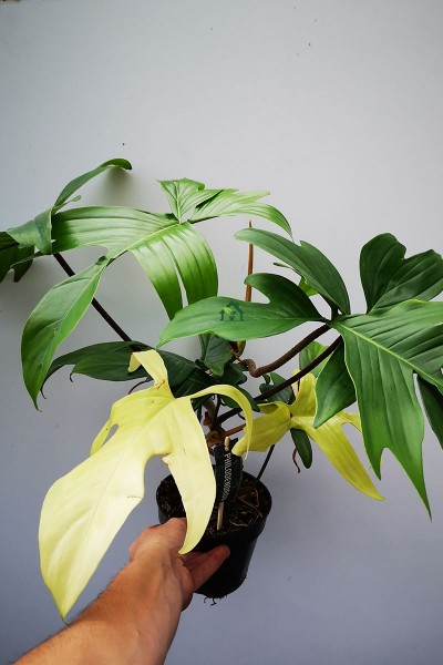 Philodendron Florida Ghost 50cm