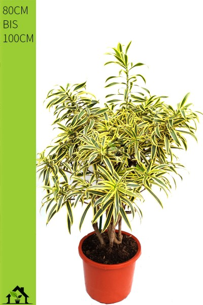 Drachenbaum (Dracaena reflexa Song of India) verzweigt ab 80cm