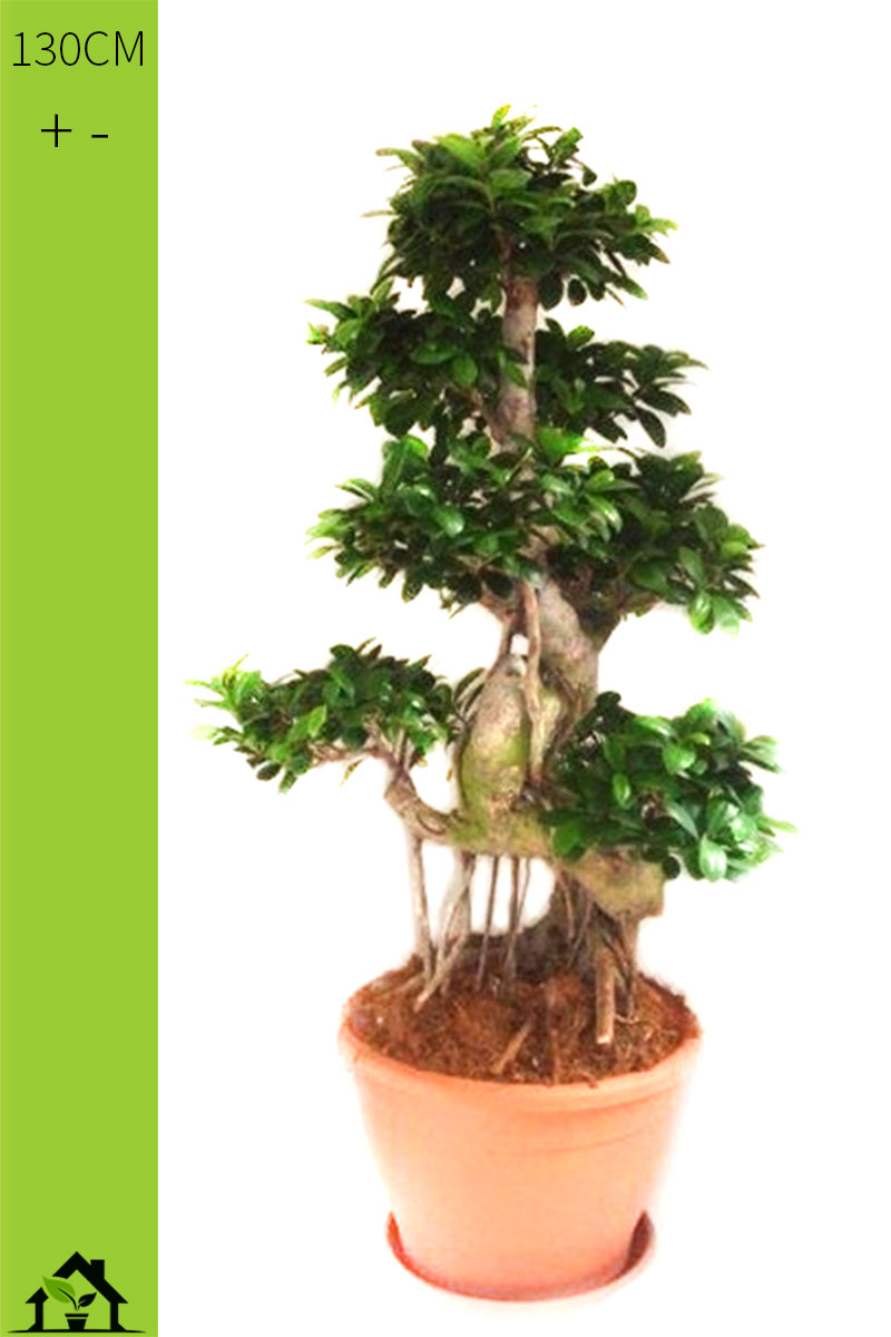 ficus ginseng ficus microcarpa 130cm. Black Bedroom Furniture Sets. Home Design Ideas