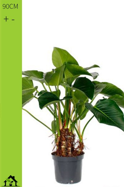 Baumfreund (Philodendron Green Beauty)