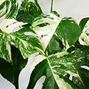 Weisse Monstera