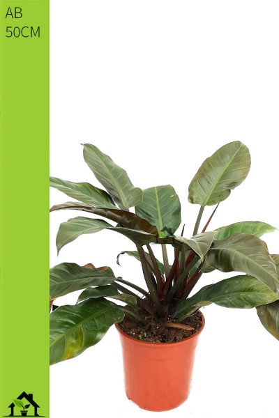 Baumfreund 'Imperial Red' (Philodendron scandens) 50cm