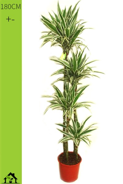 Drachenbaum (Dracaena fragrans White Stripes) 180cm
