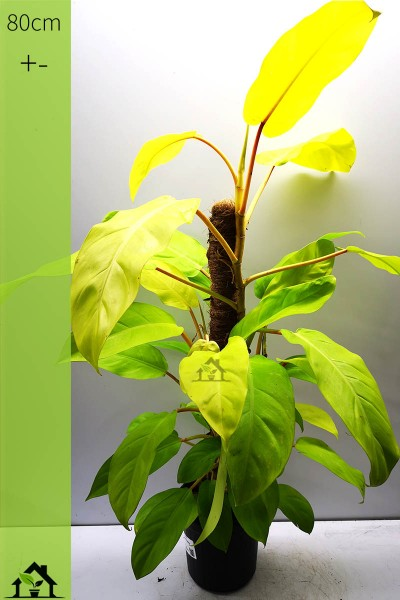 Philodendron Malay Gold 80cm