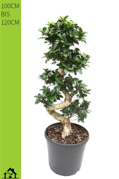 Chinesische Feige (Ficus microcarpa) Ginseng