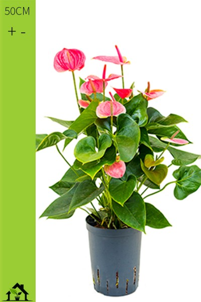 Flamingoblume - Anthurium andr. Rosa - 15/19