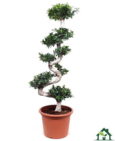 Chinesische Feige (Ficus microcarpa) 180cm S-Form