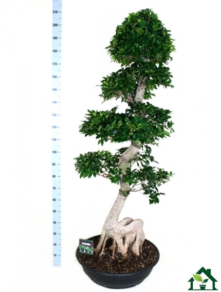 Chinesische Feige - S-Form 200cm (Ficus microcarpa)