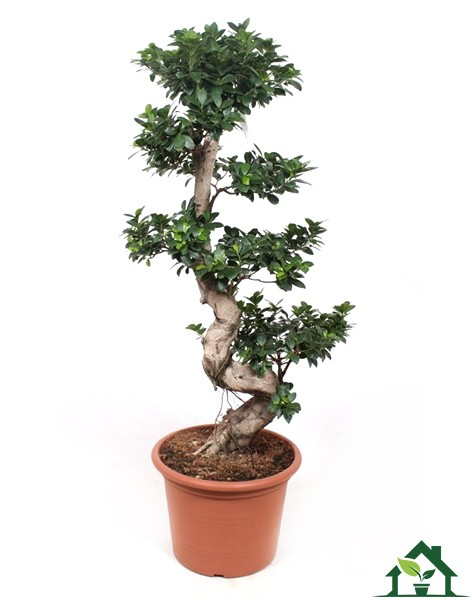 Chinesische Feige (Ficus microcarpa) 140cm S-Form