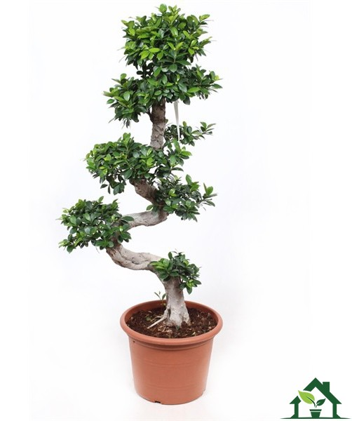 Chinesische Feige (Ficus microcarpa) 160cm S-Form