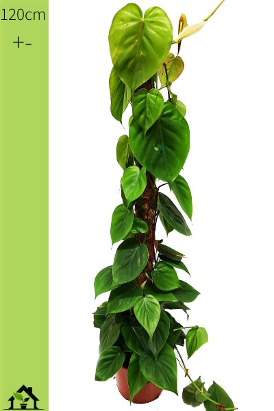 Philodendron scandens 120cm