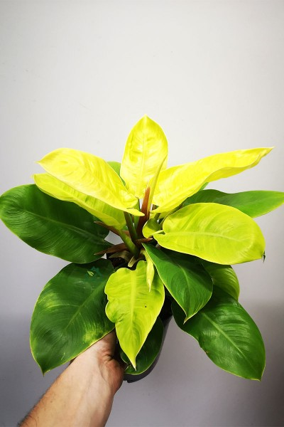 Philodendron Moonlight 50cm