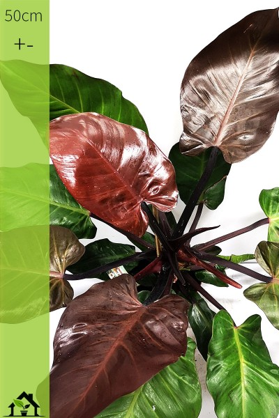 Einzelstueck - Philodendron 'Red Cherry'