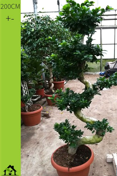 Chinesische Feige (Ficus microcarpa Ginseng) S Form 200cm
