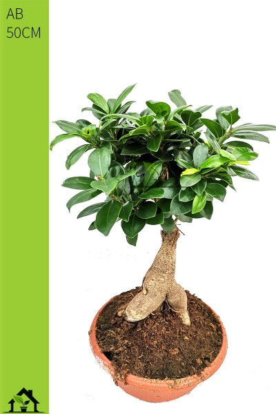 Chinesische Feige (Ficus microcarpa Ginseng) 50cm