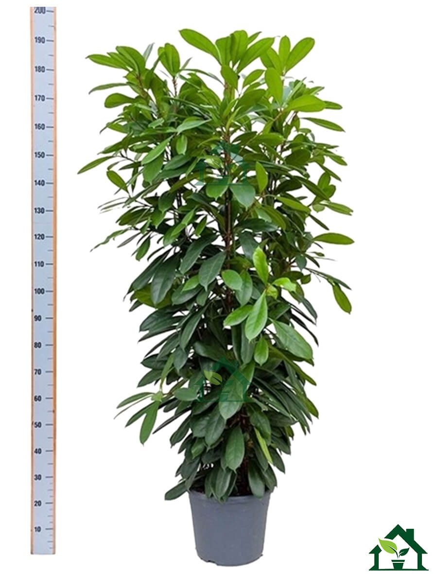 ficus cyathistipula 180 tuff zimmerpflanzen ch zimmerpflanze gruenpflanzen gruenpflanze. Black Bedroom Furniture Sets. Home Design Ideas